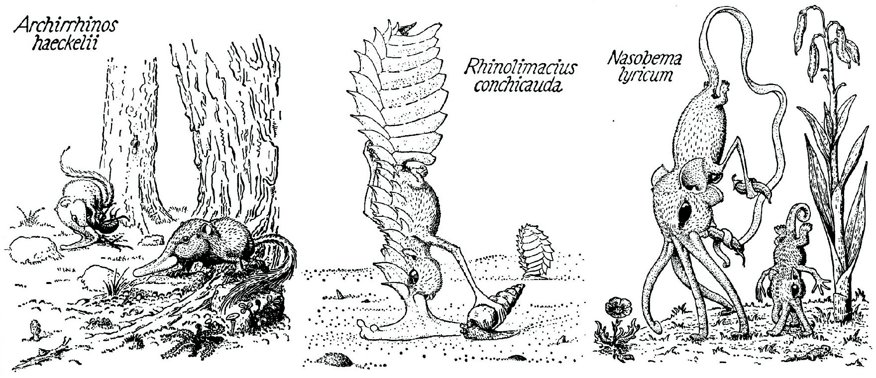 Three snouters: Archirrhinos haeckelii, Rhinolimacius conchicauda, Nasobema lyricum (Order Rhinogradentia), from Stumpke (1961).